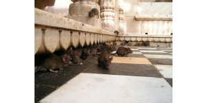 Invasion de rats et dératisation professionnelle