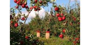 pommier arbre fruitier verger 1024x654
